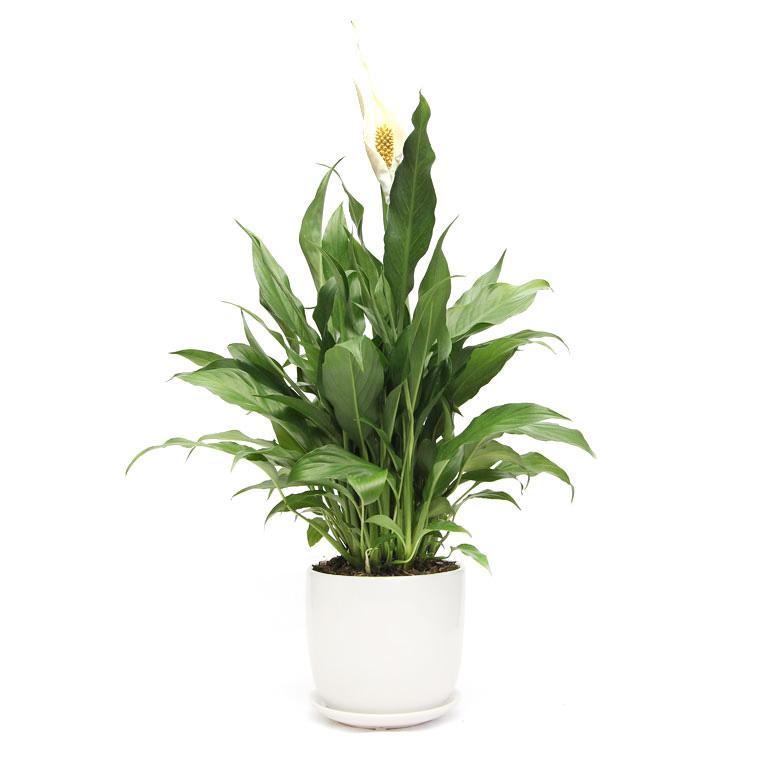 Peace Lily White Ceramic