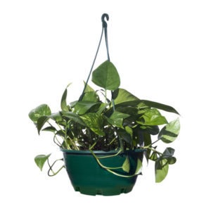 Devils Ivy Hanging Basket 25cm 250mm