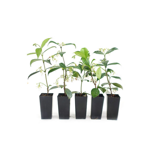 Star Jasmine Trachelospermum Jasminoides Starter Plant Tubestock