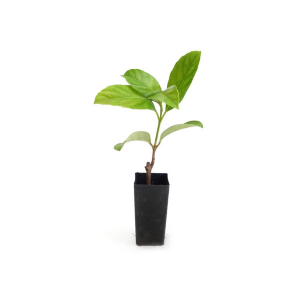 Sweet Viburnum Starter Plant