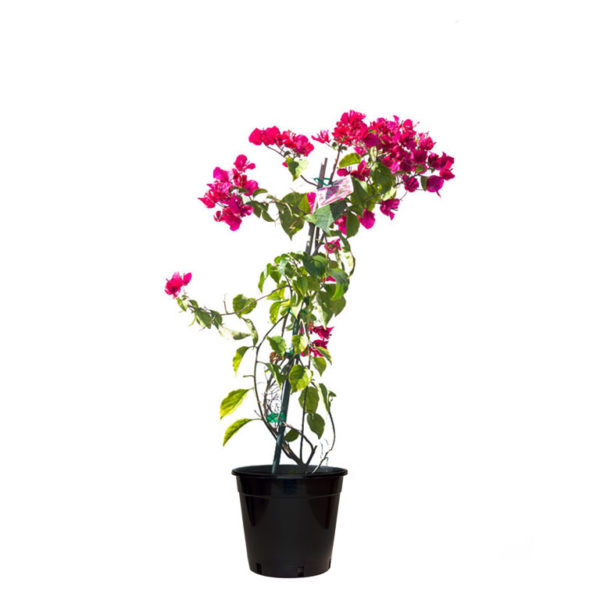 Bougainvillea Red 20cm 200mm
