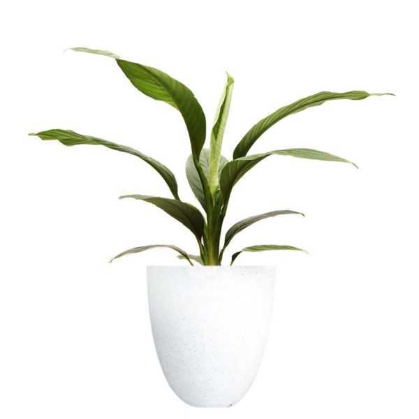 Spathiphyllum Sensation Peace Lily Terrazzo White