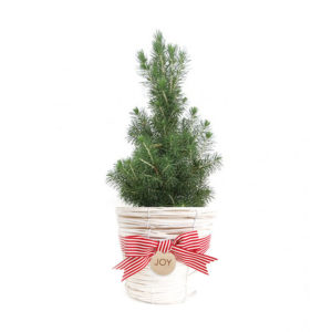 Living Christmas Tree Gift Plant Sydney Delivery White Wicker