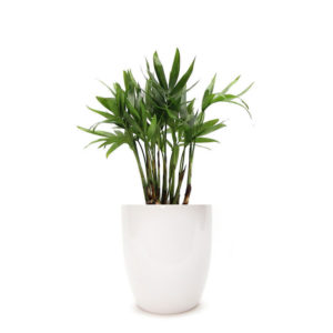 Parlour Palm Classic Ceramic Pot 100mm White Buy Gift Plant