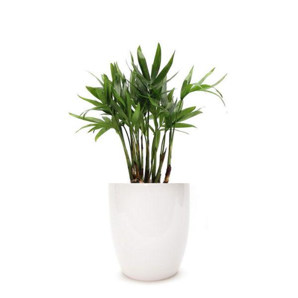 Parlour Palm Classic Ceramic Pot 100mm White Buy Gift Plant