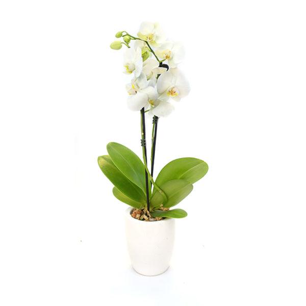 Orchid Phalaenopsis White 100mm
