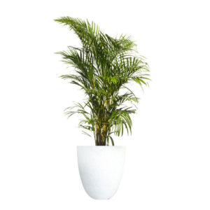Golden Cane Palm Terrazzo Pot Large White