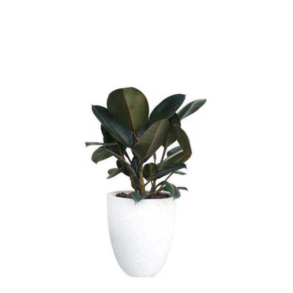Ficus Elastica Rubber Plant Terrazzo Pot