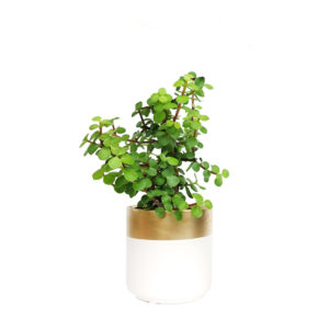 Jade Plant Jade Money Tree Ceramic Gold