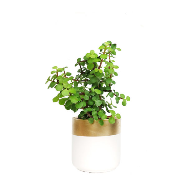 Jade Plant Jade Money Tree Ceramic Gold