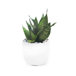 Mother In Law Tongue Ceramic Pot Home Plant Office Plant