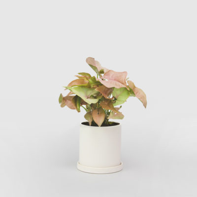 Pink Syngonium White Ceramic Pot Set 100mm