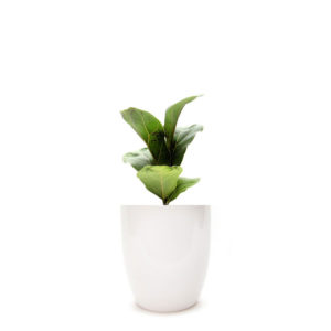 Ficus Lyrata Fiddle Leaf in Classic Ceramic Pot 100mm