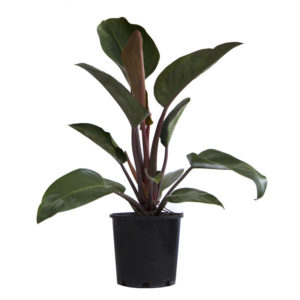 Philodendron Rojo Congo 200mm