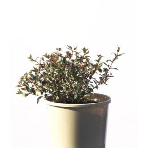 Abelia variegated 17cm 170mm