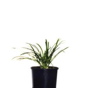 Agapanthus Baby Blue 10cm 100mm