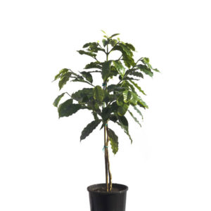 Arabica coffee plant 20cm 200mm