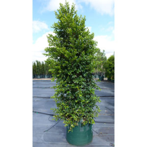 Syzygium Backyard Bliss 100L