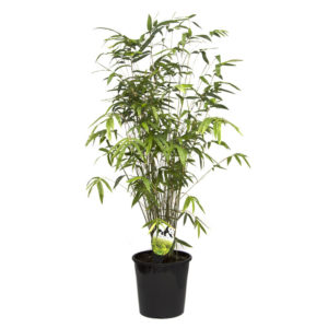 Bamboo Bambusa Multiplex Green Hedge 20cm 200mm