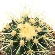 Cactus Gizmo 160mm