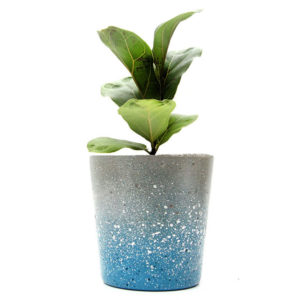 Blue Concrete Pot Fiddle Leaf Fig