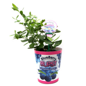 Blueberry Burst 140mm 14cm 6""