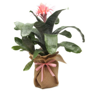 Bromeliad Aechmea Primera Hessian Wrapped 200mm