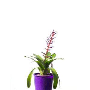 Bromeliad south american 17cm 170mm