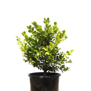 Buxus Japonica Japanese Box Hedge 14cm-160mm