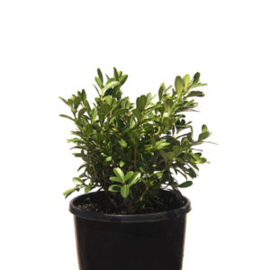 Buxus Micro Micro Korean Box 14cm-140mm