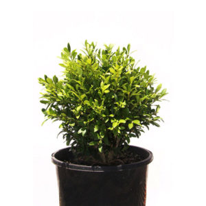 Buxus Micro Micro Korean Box 17cm 170mm