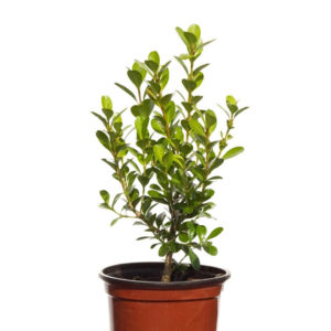 Buxus Microphylla Japanese Box 9cm 90mm