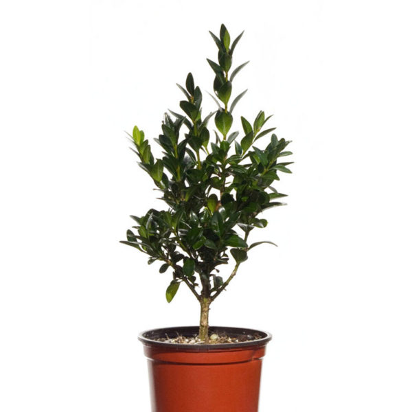 Buxus Sempervirens English box 9cm 90mm