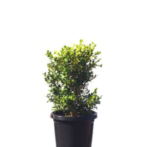 Buxus japanese 30cm 300mm