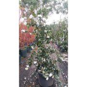 Camellia Sasanqua Pure Silk White 75L - 500MM - 50cm