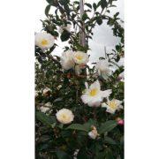 Camellia Sasanqua Pure Silk White 75L – 500MM – 50cm – Close Up