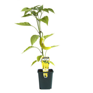 Capsicum Long Sweet Yellow 125mm