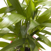 Cascade Palm Closeup
