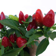 Chilli Hessian Living Gift Plant