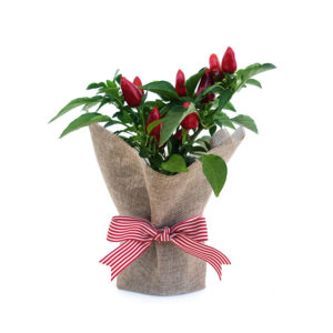 Chilli Hessian Living Gift Plant