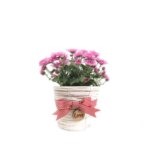 Chrysanthemum Pink White Wicker love