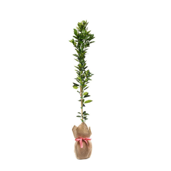 citrus tree hessian wrap gift plant