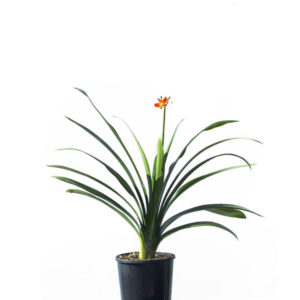 Clivia orange 20cm 200mm