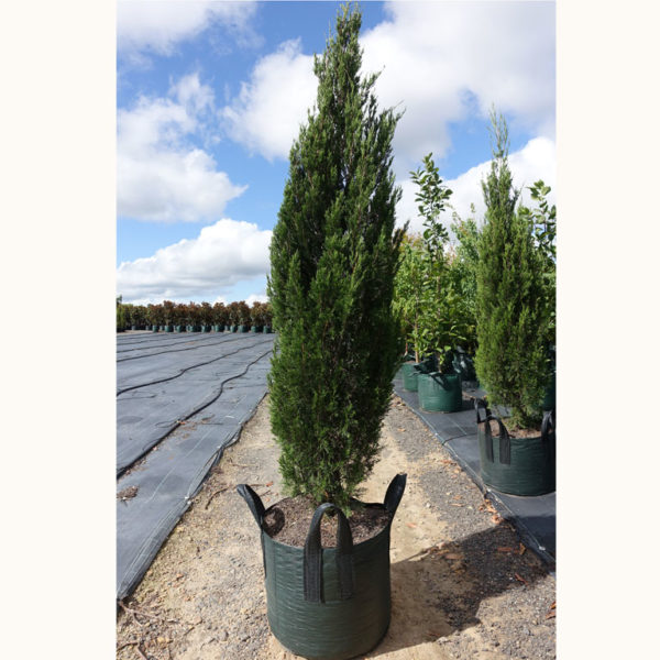 Conifer Juniperus Spartan 100L