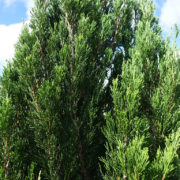 Conifer Juniperus Spartan 100L Close up