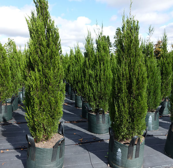 Conifer Juniperus Spartan 100L Field