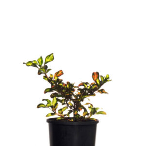 Coprosma Evening Glow 10cm 100mm
