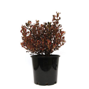 Coprosma repens Pacific Sunset 200mm