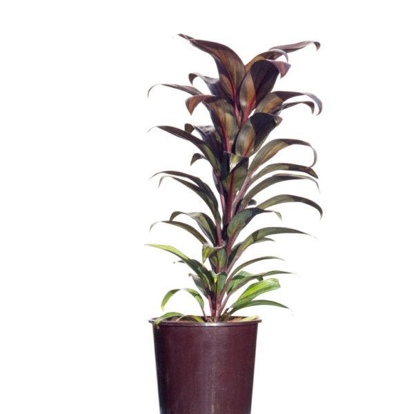 Cordyline Fruticosa Cameroon 12cm 120mm