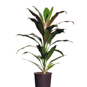 Cordyline Fruticosa Kiwi 12cm 120mm